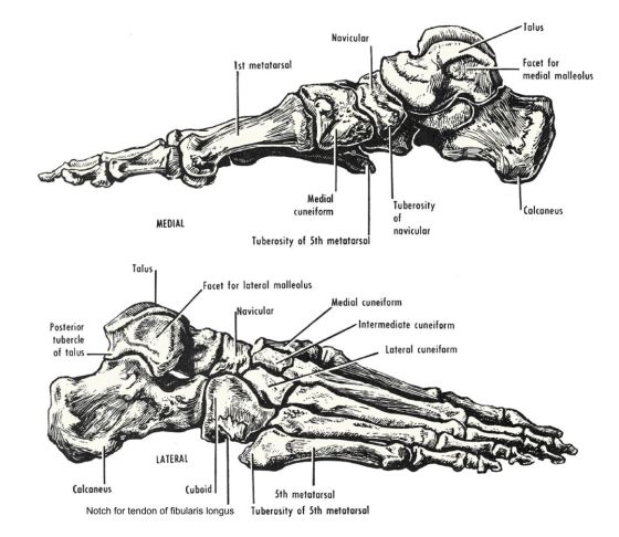 Foot bones - lateral